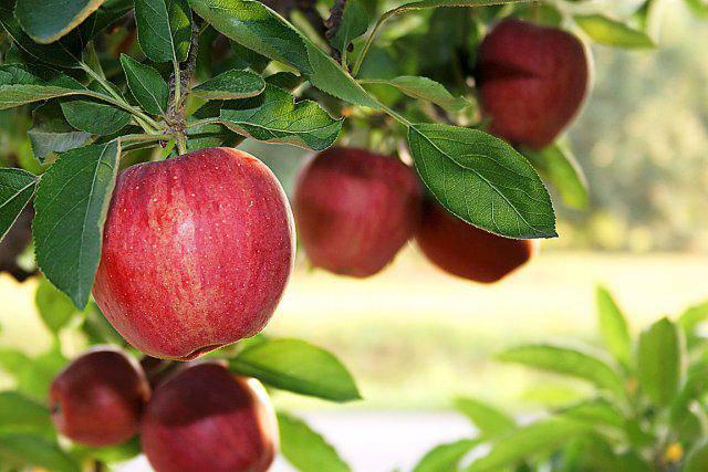 une pomme des ann es 50 correspond 100 pommes d aujourd hui. Black Bedroom Furniture Sets. Home Design Ideas