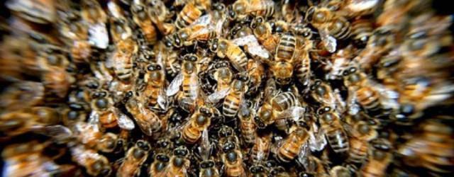 abeilles françaises