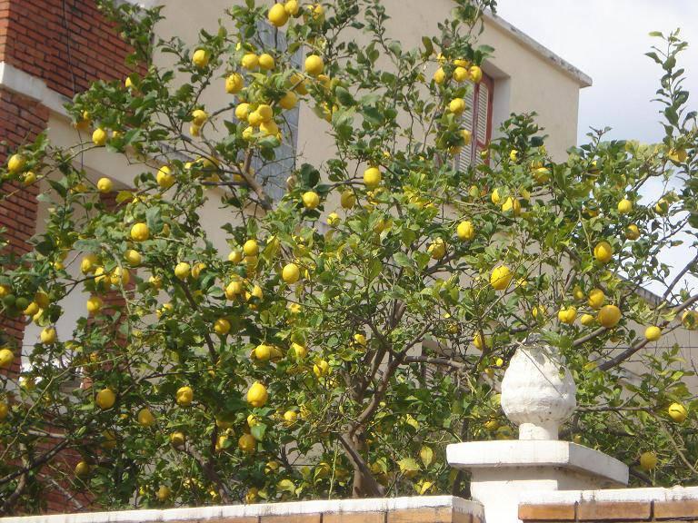 pépins de citron