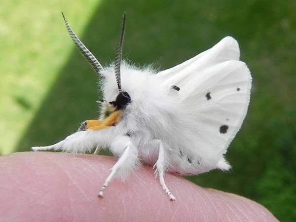papillon caniche
