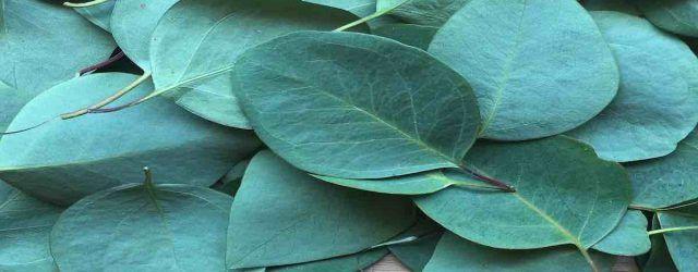 bain à l'eucalyptus