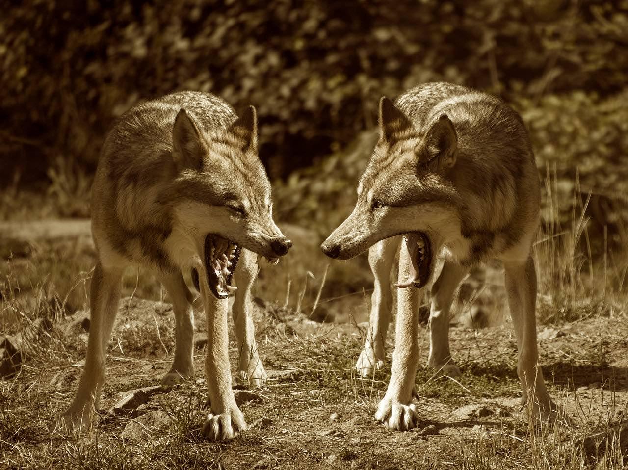 parabole des deux loups