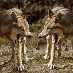 histoire des deux loups